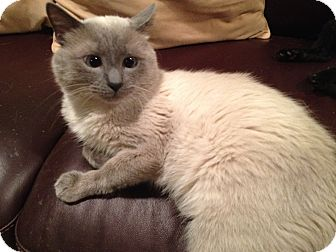 Siamese Cat for adoption in East Hanover, New Jersey - Ming
