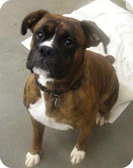 Boxer Mix Dog for adoption in Kalamazoo, Michigan - Ozzy
