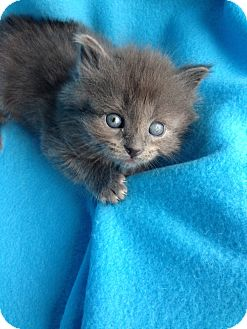Domestic Shorthair Kitten for adoption in Union, Kentucky - Zeus