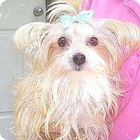 Adopt A Pet :: small tan morkie - CAPE CORAL, FL