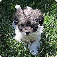Adopt A Pet :: Tiny Twinkie - La Habra Heights, CA