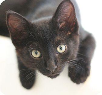 Domestic Shorthair Kitten for adoption in Canoga Park, California - Littlefoot
