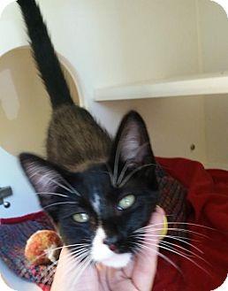 Domestic Shorthair Kitten for adoption in Bellingham, Washington - Geronimo