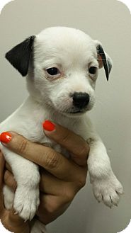 Rat Terrier Mix Puppy for adoption in Groton, Massachusetts - Paris