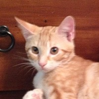 Domestic Shorthair Cat for adoption in Slidell, Louisiana - Logan