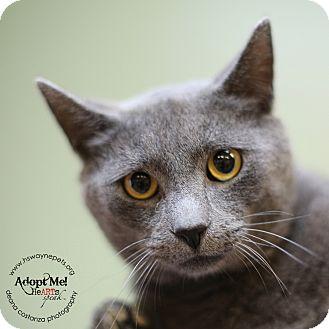 Domestic Shorthair Cat for adoption in Lyons, New York - Slinkey
