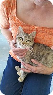 Domestic Shorthair Kitten for adoption in Buford, Georgia - Tabatha-$70.00 for 1 or 2 !