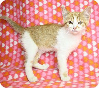 Domestic Shorthair Kitten for adoption in Jackson, Michigan - Orangie