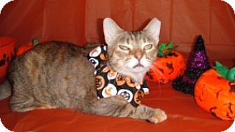 Abyssinian Cat for adoption in Arlington/Ft Worth, Texas - Marnie
