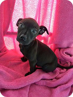 Terrier (Unknown Type, Small) Mix Puppy for adoption in Cleveland, Mississippi - Della