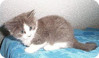 Domestic Mediumhair Kitten for adoption in Fayetteville, Georgia - Kismet
