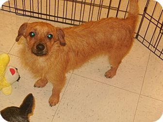 Terrier (Unknown Type, Small) Mix Dog for adoption in DeRidder, Louisiana - Harry
