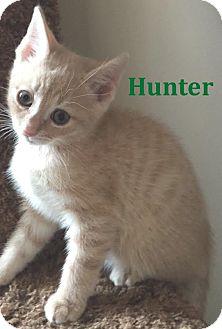 Domestic Shorthair Kitten for adoption in Huntsville, Ontario - Hunter - FTA April 2016