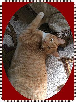 Domestic Shorthair Cat for adoption in Mt. Prospect, Illinois - Kaner