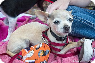 Chihuahua Dog for adoption in San Marcos, California - Penelope