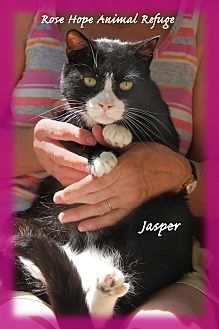 Domestic Shorthair Cat for adoption in Waterbury, Connecticut - Jasper