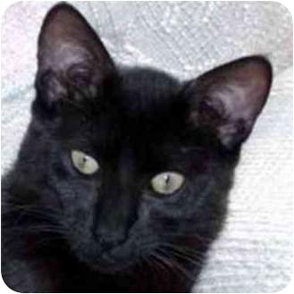 Siamese Cat for adoption in Berkeley, California - Tiara