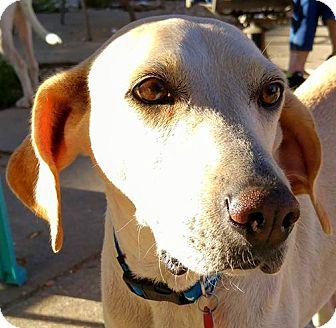 Pointer/Hound (Unknown Type) Mix Dog for adoption in Baton Rouge, Louisiana - LAZY!