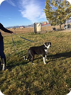 Border Collie Dog for adoption in Montpelier, Idaho - Rosie