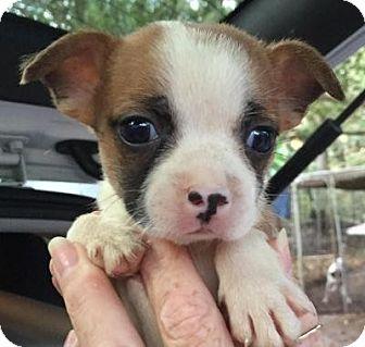 Boston Terrier/Chihuahua Mix Puppy for adoption in Orlando, Florida - Glenda#5F