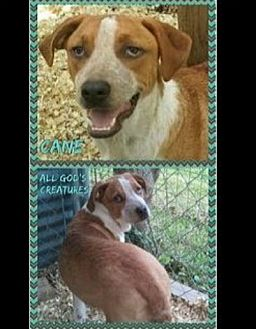 Hound (Unknown Type)/Australian Cattle Dog Mix Dog for adoption in Beaumont, Texas - Cane