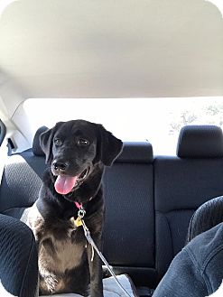 Flat-Coated Retriever Mix Puppy for adoption in Dallas, Texas - Ashlie