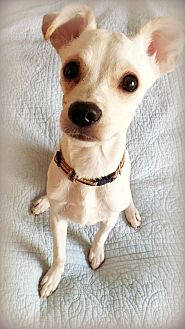 Terrier (Unknown Type, Small)/Italian Greyhound Mix Puppy for adoption in Tijeras, New Mexico - Napoleon
