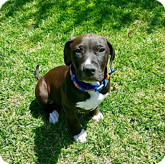 Boxer/Pit Bull Terrier Mix Puppy for adoption in Newport Beach, California - Dylan