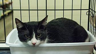 Domestic Shorthair Cat for adoption in McKinney, Texas - Herbie