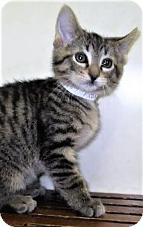 Domestic Shorthair Kitten for adoption in Downers Grove, Illinois - ADOPTED!!!   Kramer