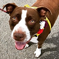 American Staffordshire Terrier Mix Dog for adoption in Southbury, Connecticut - Mae ~ meet me!