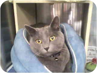 Russian Blue Cat for adoption in Greenville, South Carolina - Shadow