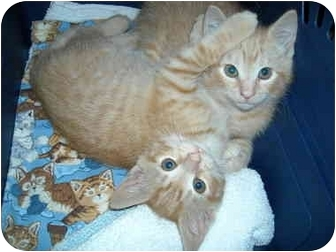 Domestic Shorthair Kitten for adoption in Arlington, Virginia - Fun Bunch Kittens