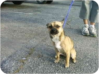 Chihuahua Mix Dog for adoption in Charleston, South Carolina - Noel