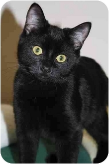 Domestic Shorthair Cat for adoption in Toledo, Ohio - Tristan