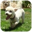 Photo 2 - Bichon Frise Mix Dog for adoption in La Costa, California - Mozart