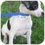 Photo 1 - Rat Terrier Mix Puppy for adoption in Mt. Prospect, Illinois - PeeWee