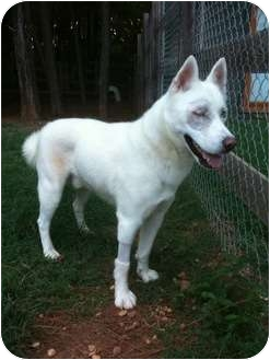 Husky/Husky Mix Dog for adoption in Huntington Station, New York - Steele