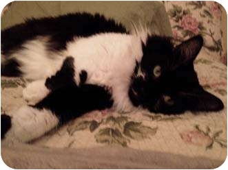 Maine Coon Cat for adoption in Merrifield, Virginia - Cleo