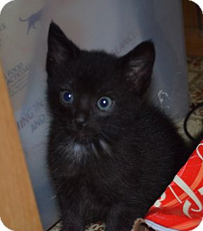Domestic Shorthair Kitten for adoption in San Diego, California - Odin