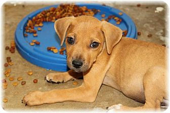 Shepherd (Unknown Type)/Labrador Retriever Mix Puppy for adoption in Comanche, Texas - Tyler