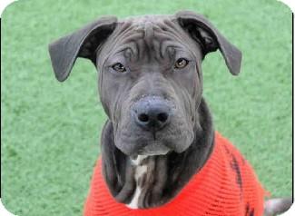 Shar Pei/Labrador Retriever Mix Puppy for adoption in Apple Valley, California - Anya