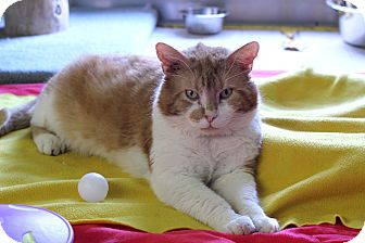 Domestic Shorthair Cat for adoption in Chicago, Illinois - Conan
