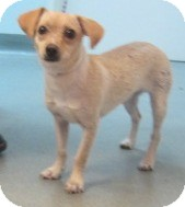 Chihuahua/Dachshund Mix Dog for adoption in Westminster, California - Dottie