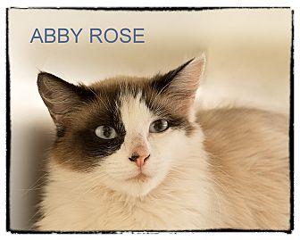 Siamese Cat for adoption in Corpus Christi, Texas - Abby Rose