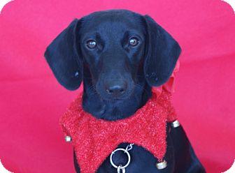 Dachshund/Labrador Retriever Mix Puppy for adoption in Princeton, Kentucky - Maybelline