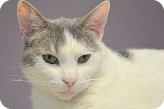 Domestic Shorthair Cat for adoption in Muskegon, Michigan - lacey