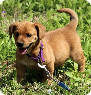 Golden Retriever/Basset Hound Mix Puppy for adoption in Staunton, Virginia - Evie