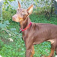 Adopt A Pet :: Rusty - New Richmond, OH