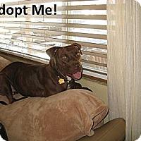 Adopt A Pet :: Amber - Scottsdale, AZ
